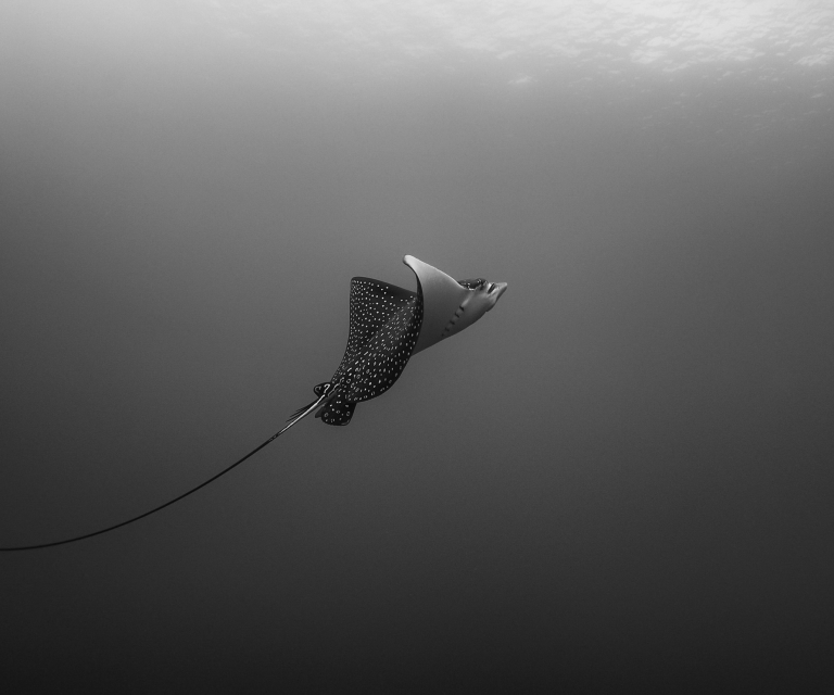 Eagle-Ray-in-Black-and-White