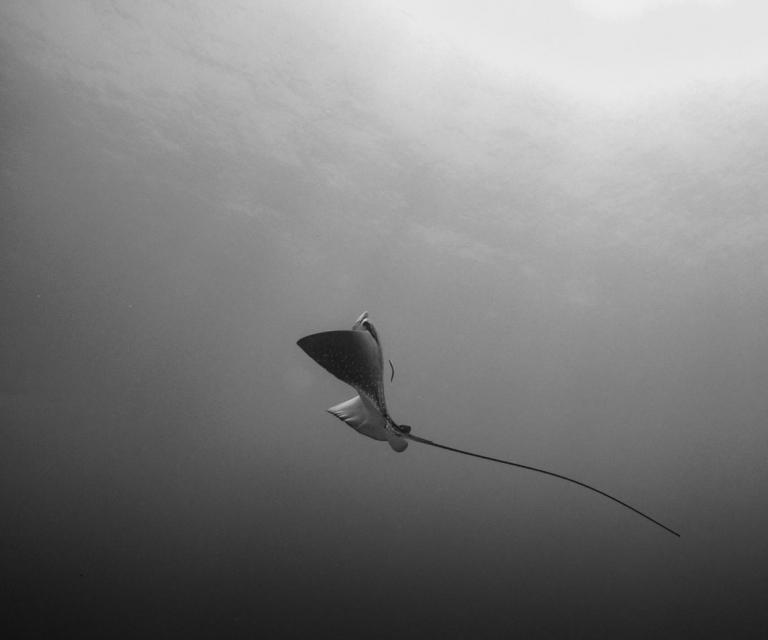 eagle-ray