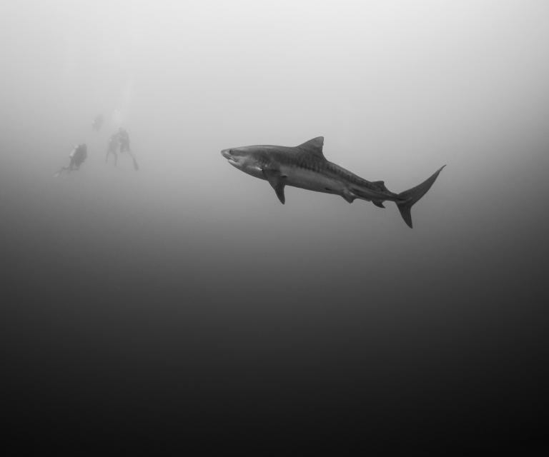 Shark Mist